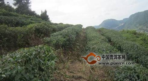 欧冠杯下注:丹寨县华阳茶业带动周边贫困户就业