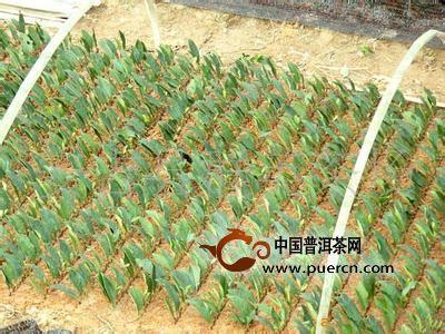 白茶茶树的种植技术