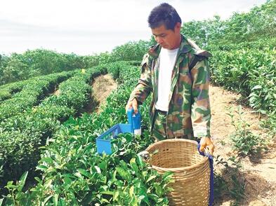 久盈:海垦茶业集团:争取明年打造一批专业的机械化采茶队伍