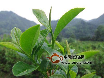 黑茶的营养成分和营养价值