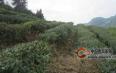 丹寨县华阳茶业带动周边贫困户就业