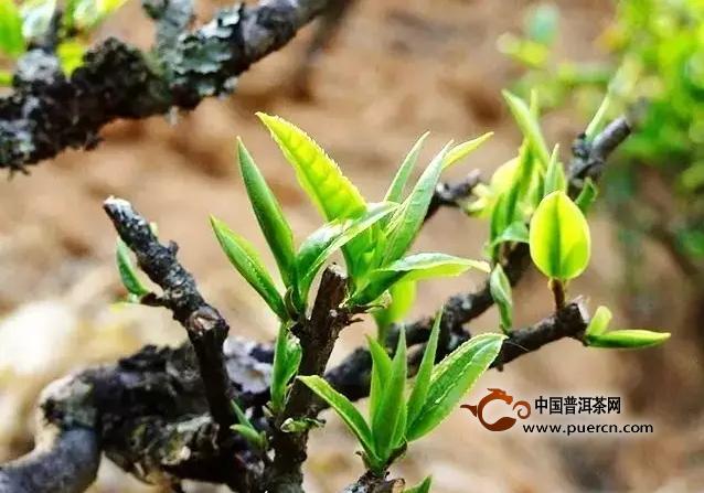 古树茶的采摘标准是什么?