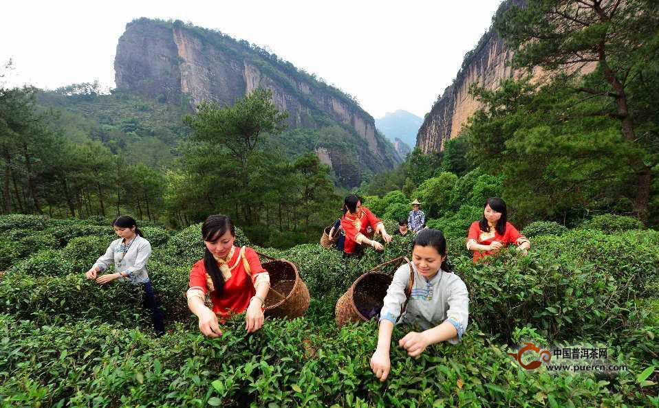 武夷岩茶的制作方法