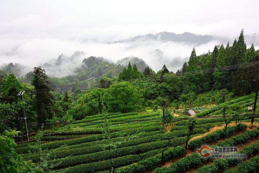 海马宫茶黄茶