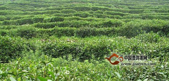 欧冠杯下注:济南:建设北方茶园打造特色茶品牌