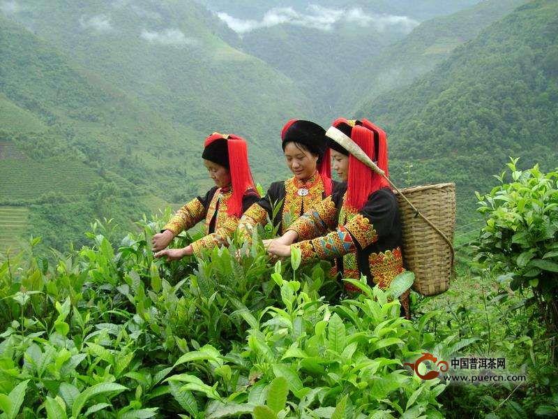绿春县骑马坝乡哈尼山寨玛玉村,位于绿春县黄连山麓,玛玉村上种植