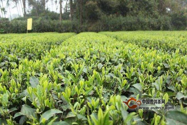 蒙顶茶是什么茶