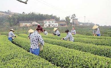 久盈:三合茶产业的快速发展 激发了农民种茶的积极性