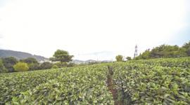 思茅区国家现代农业(茶叶)产业园