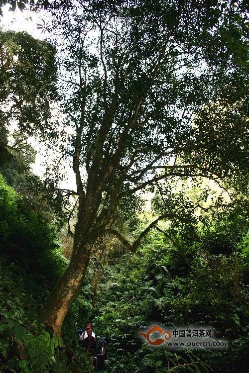 普秀滇味红茶来自云南大山的自然力量