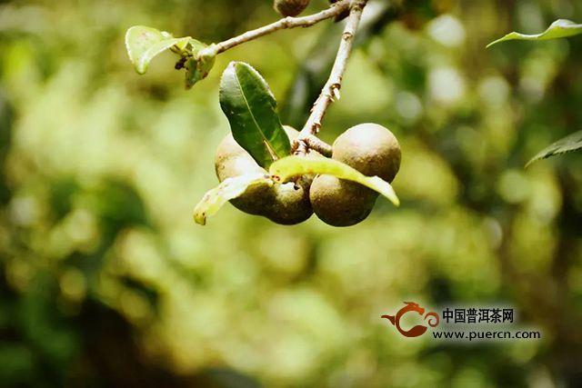 重磅:人类还有没有机会重新认识古树茶?