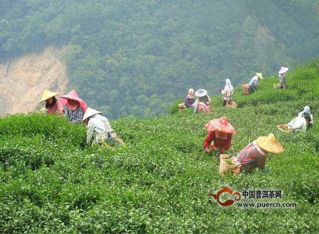 龙泉茶的美丽传说