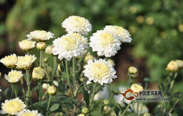 胎菊和贡菊的区别
