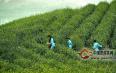 云南政府出台政策大力推动云茶产业发展 力争茶产业产值超1200亿