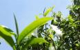 普洱茶鉴别:如何看叶底,知茶质?