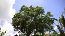 调查数据:云南古茶树,可能比你想象的要多得多!