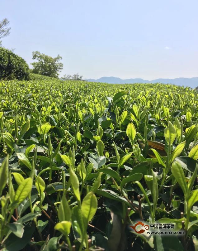 白茶竞芬芳:境界之上是源于自然的艺术