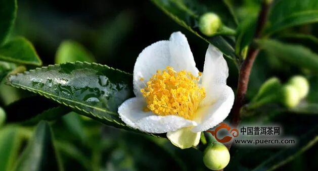 茶树花 健康的天使