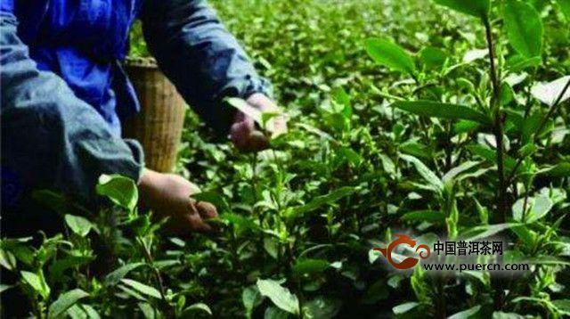 合箩茶_合箩茶生产历史-茶叶文化_中国茶叶文化频道-普洱茶网,www