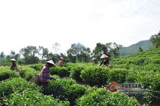 诏安八仙茶发展历史