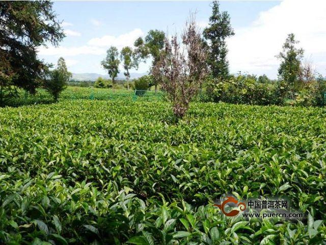白茶的产地在哪里
