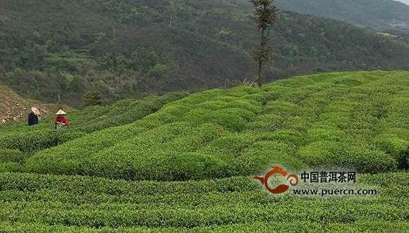 福鼎白茶产地环境
