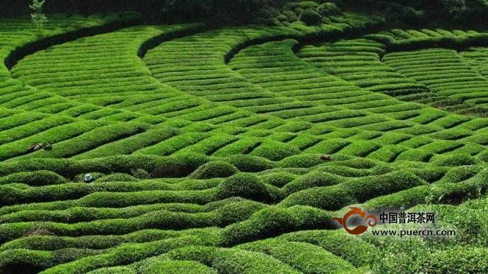 福鼎白茶哪里产区比较好