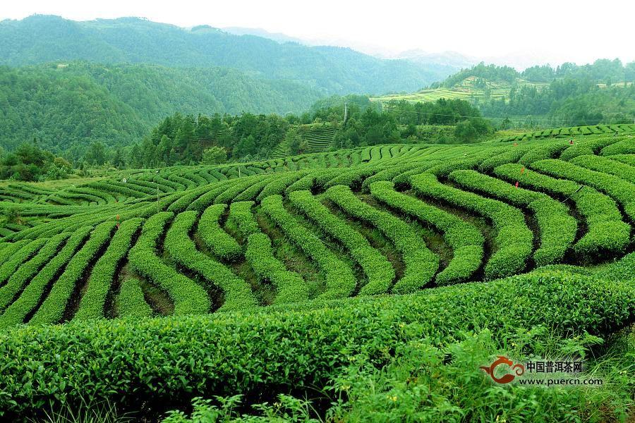 政和白茶产地环境