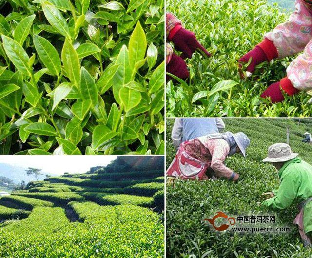 东方美人乌龙茶工艺