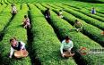 茶叶妙用:茶的健康八用