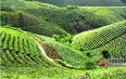 通过这6个指标来区别古树茶和台地茶
