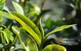 叶大叶厚就是古树茶吗?我们教你来如何鉴别