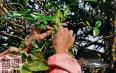 普洱古树茶之如何找到货真价实的古树茶