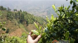 茶是群众脱贫致富的好产业