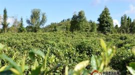 普洱茶投资分析:茶行业大师茶是怎样制作的?