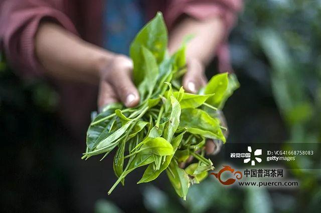 陈升学堂|第73期:从茶树到茶杯,一片树叶的漫长之旅