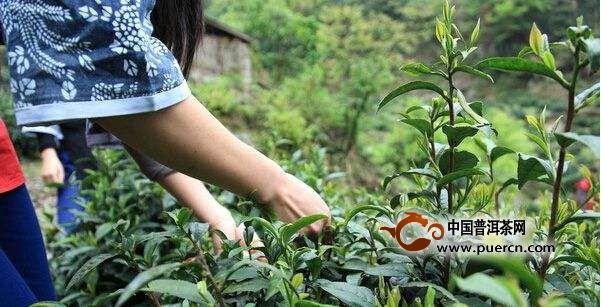 2019年易武古树春茶价格