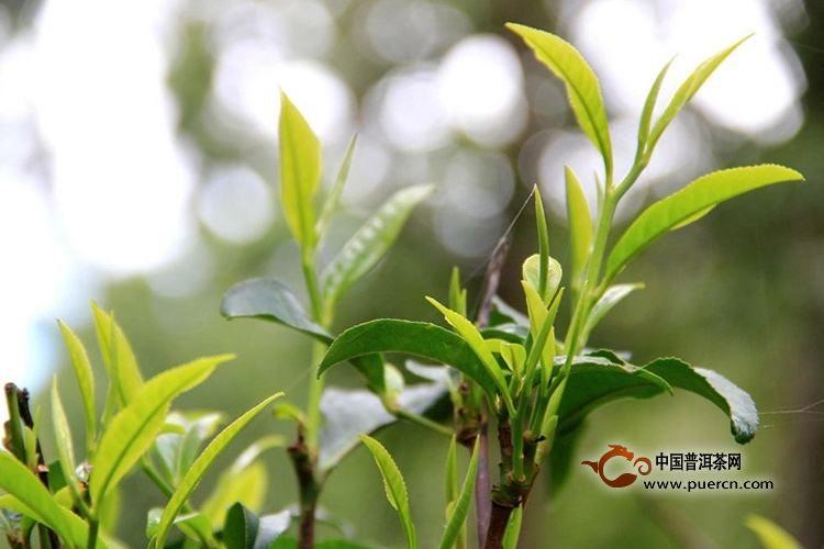 普洱茶区2019春茶价格表