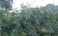 如何鉴定普洱春茶、雨水茶、雨前茶、谷花茶?