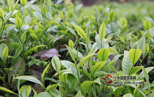 安吉白茶是什么茶?安吉白茶属于白茶吗