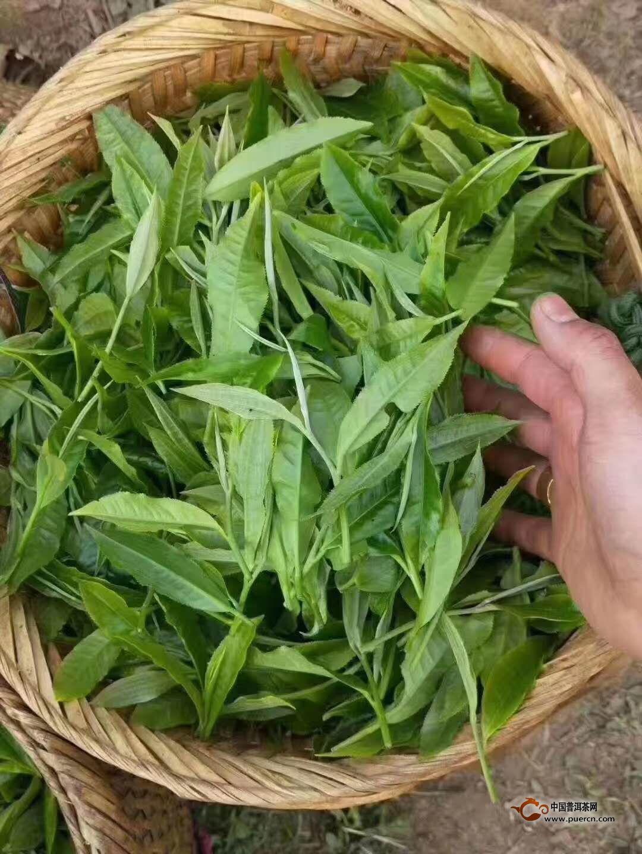 普洱春茶上市在即,你购买春茶时,可别买假了!