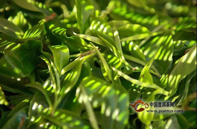 人民政协报专访|七彩云南·庆沣祥匠心铸真好茶为你