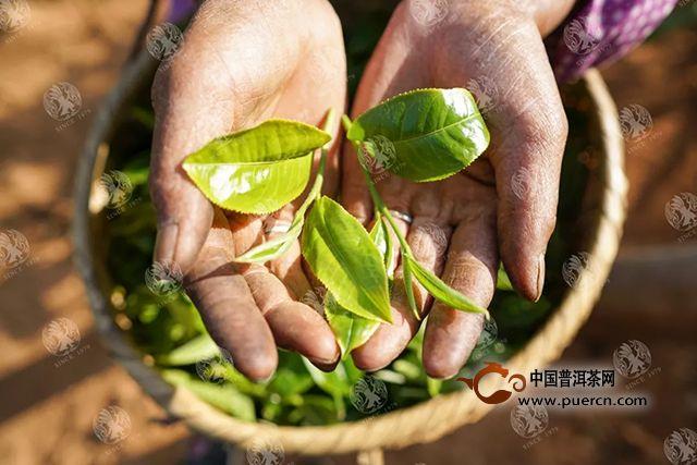拉佤布傣:全国人大二次会议闭幕,茶或将成为三农问题关键突破口