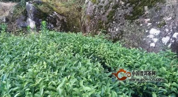 大红袍、奇丹、北斗岩茶是怎样的关系?