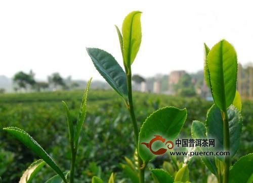 湄潭翠芽是什么茶?湄潭翠芽的特点