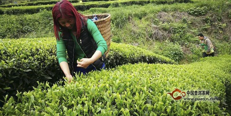 湄潭翠芽是什么绿茶?湄潭翠芽是扁型绿茶