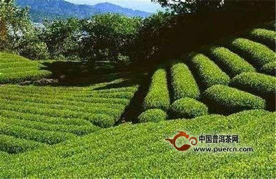 峨眉雪芽的产地在哪里-安化黑茶