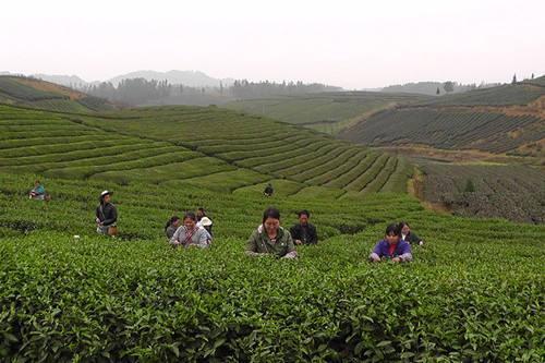 湄潭茶产业简介最新2019.1.8
