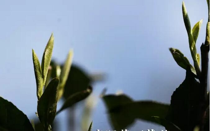 杜晓:蒙顶黄芽,中国唯一温性茶