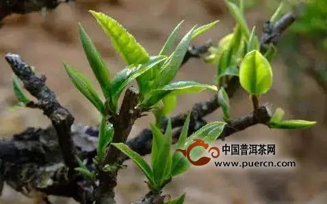 带你速览中国主要白茶产区